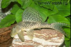 Hypostomus sp. (L130) - Click for species page