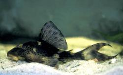 Hypostomus sp. (L229) - Click for species page