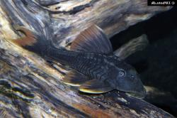 Hypostomus sp. (L360) - Click for species page