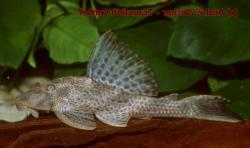 Hypostomus sp. (L379) - Click for species page
