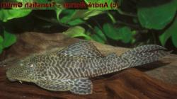 Hypostomus sp. (L388) - Click for species page