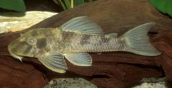 Hypostomus sp. (L389) - Click for species page