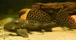 Leporacanthicus heterodon - Click for species page