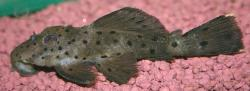 Leporacanthicus sp. (L314) - Click for species page