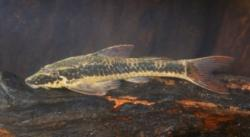 Parotocinclus cf. maculicauda - Click for species page