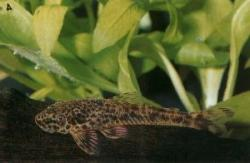Parotocinclus cristatus - Click for species page