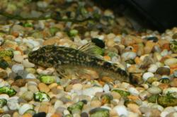 Parotocinclus sp. `PERNAMBUCO` - Click for species page