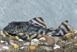 Peckoltia brevis - Click for species page