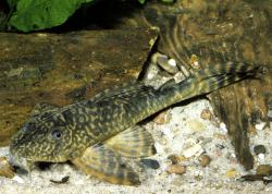 Peckoltia caenosa - Click for species page