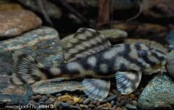 Peckoltia sp. (L209) - Click for species page