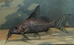Synodontis batensoda - Click for species page