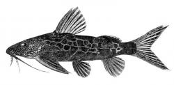 Synodontis centralis - Click for species data page