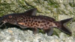 Synodontis cf. polli(1) - Click for species page