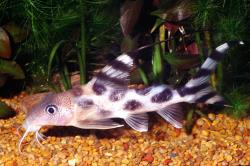 Synodontis decorus - Click for species data page