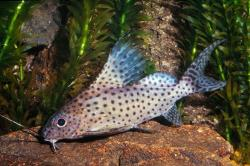 Synodontis eupterus - Click for species data page