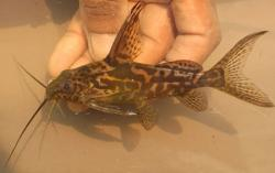 Synodontis greshoffi - Click for species data page