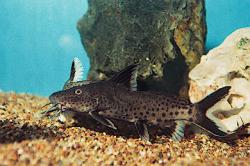 Synodontis irsacae - Click for species page
