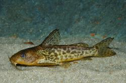 Synodontis macrostigma - Click for species data page
