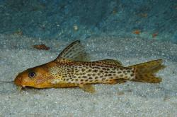 Synodontis macrostoma - Click for species data page