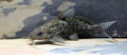 Synodontis ocellifer - Click for species data page