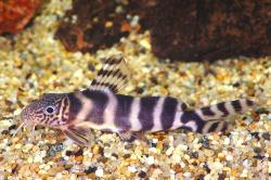 Synodontis ornatipinnis - Click for species data page