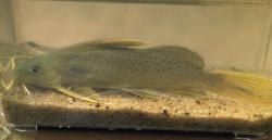 Synodontis punctifer - Click for species data page