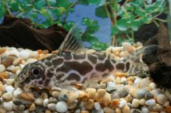 Synodontis robertsi - Click for species data page