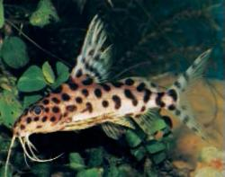 Synodontis sp. hybrid(1) - Click for species page