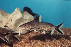 Synodontis tanganyicae - Click for species page