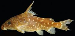 Synodontis woleuensis - Click for species data page