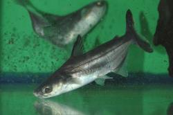 Pangasius bocourti - Click for species data page