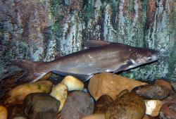 Pangasius conchophilus - Click for species data page