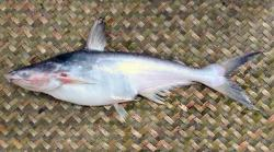 Pangasius nasutus - Click for species data page