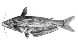 Schilbe yangambianus - Click for species data page